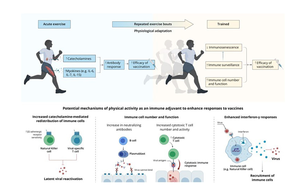 Uno-stile-di-vita-attivo-previene-l'immunosenescenza